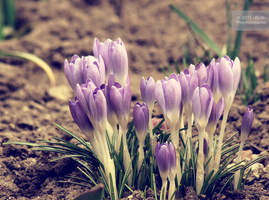 .:Wake up, crocus:. by bogdanici