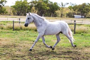 HH Grey Andalusian Stallion trot side view by Chunga-Stock