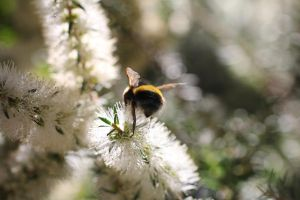 The Bee's Bum by HeikoRademacher
