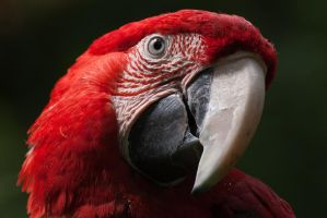 Scarlet Macaw by ArrowUnicorn