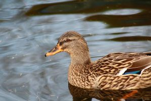 Female mallard by Alex-Br