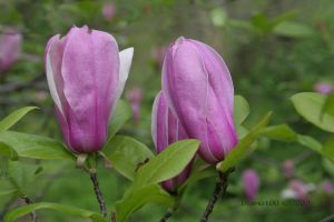 Pink Magnolia Buds by desmo100