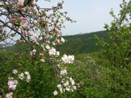 flowers - APPLE BLOSSOM by deveciufuk