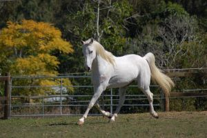 Horse stock - Big trot by Chunga-Stock