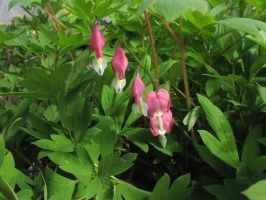 Bleeding Hearts- Pink by Della-Stock