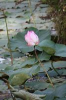 lotus Flower 9741 by fa-stock