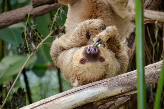 Sloth | Zoo Leipzig by rapidfox2