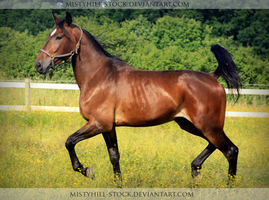 Bay Warmblood 4 by MistyHills-STOCK