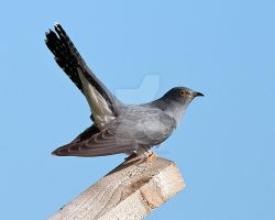 Cuckoo by pixellence2