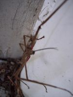 Stick Insect 9 by OWTC-Stock