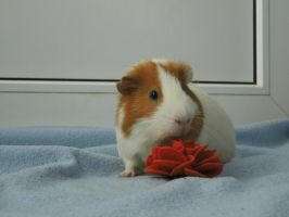 Guinea pig by Aylany