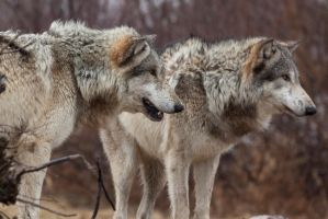 Brother Wolves Three by ladynightseduction