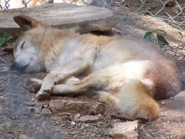 Cute Sleeping Dingo by Norvilion