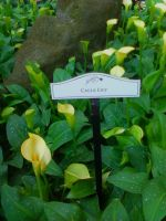 Calla Lilly by LeCoeurDeLArgent