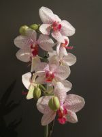 orchid by paolaquasar