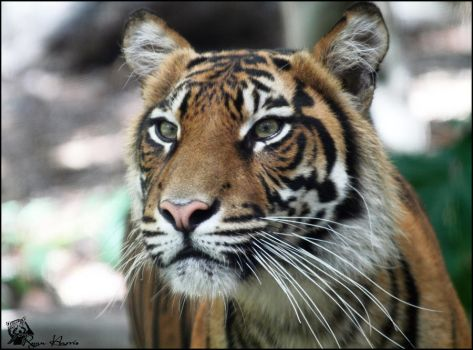 Sumatran Tiger 9 by Mkatpro11
