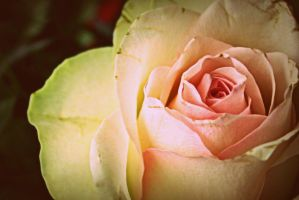 Vintage rose by Uncle-Sarah