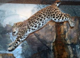 Denver Zoo 59 Leopard by Falln-Stock