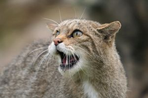Scottish Wildcat 4530848 by StockProject1