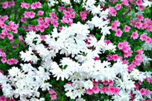 Pink and White Azaleas by bewilderedconfused