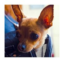 Chihuahua by patstome