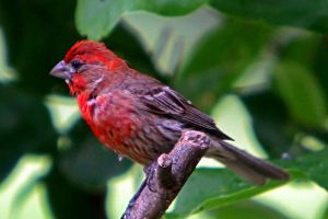 male house finch by clippercarrillo