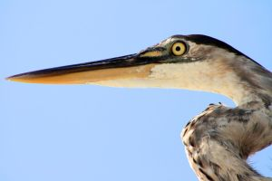 Great Blue Heron by truman1012
