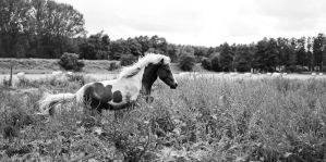 horse #35 bw by sys66