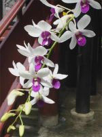 Orchids by littleemmy