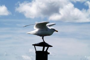 Seagull landing by Outeregions
