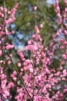 Peach Blossoms by theblindalley