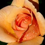 A ROSE FOR MAY by Dieffi