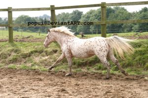 appaloosa pony10_stock by popui