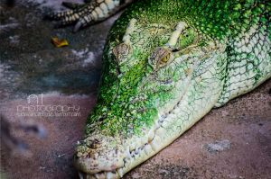 watch out! It's a crocodile by NathiConcepts