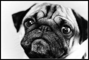 Pugs One by ahedrick201