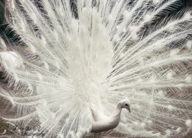 White Peacock by FortySixand2Photos