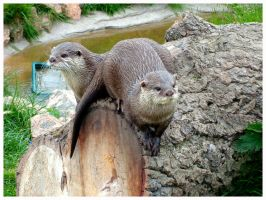 otter couple two by Summer-Sunny