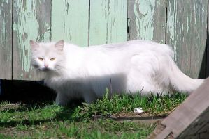 White cat back from 2007 by gamebalance