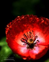 Red Poppy by jasonswint