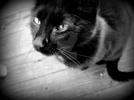 Black cat 1 b/w by greentulip