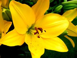 Large Yellow Flower by jjankk