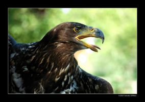 Bald Eagle by grugster