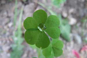 Drop on Clover by Mifti-Stock