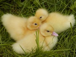 little ducks II by two-ladies-stocks