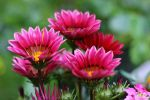 Gazania by miss-gardener