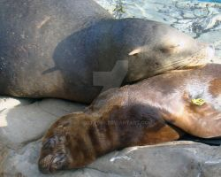 Sleeping Sea Lions by kfrosty008