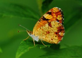 Cresant butterfly underside by natureguy
