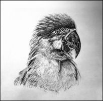 The Macaw - Pencil by Lynne-Abley-Burton