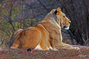 serene lion by clippercarrillo