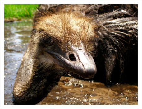 A Soggy Ostrich by WildFeathers